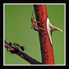 ants on a thorny branch